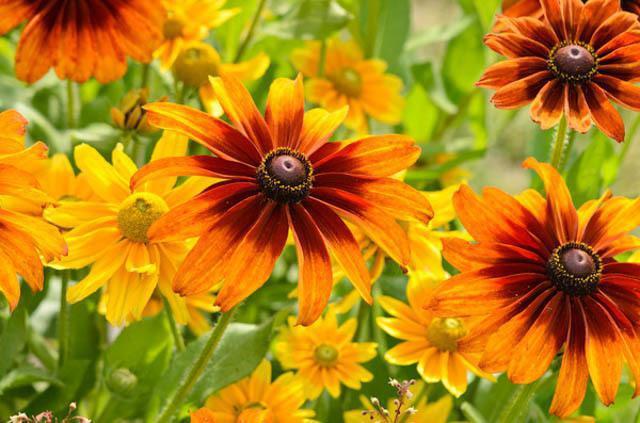 Цветок похожий на ромашку оранжевый