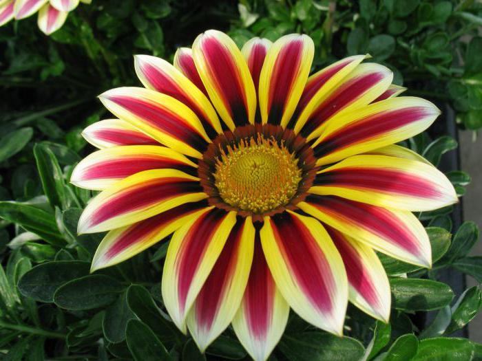 Желтые цветы-многолетники: фото и названия 10