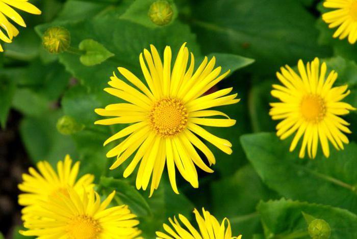 Желтые цветы похожи на ромашки