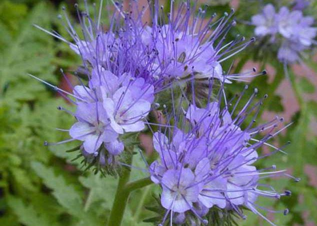 phacelia as a siderat in the garden