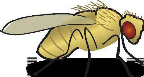 how many midges live in summer