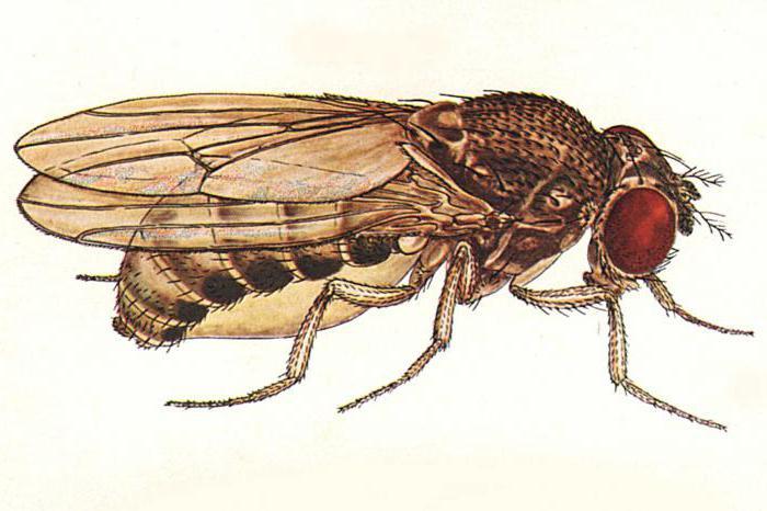 How long do fruit flies live?
