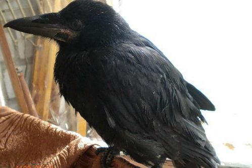 как отличить птенца ворона от вороны