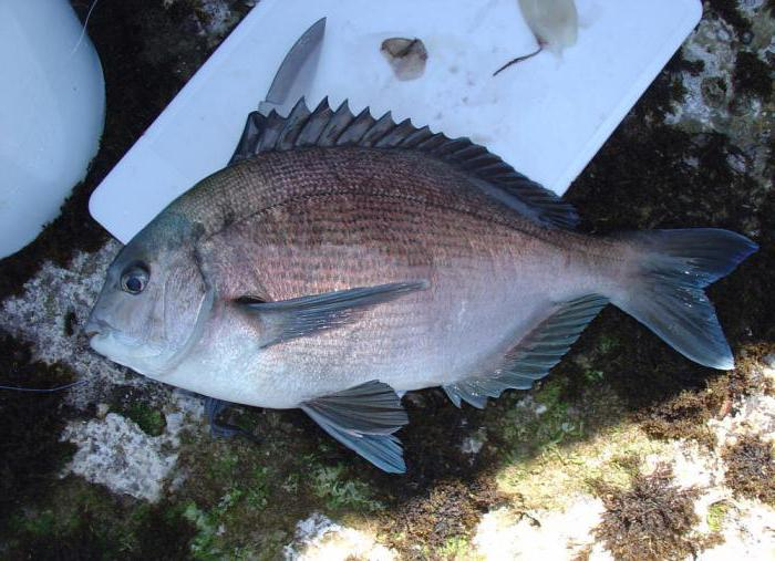 на что клюет рыба на черном море