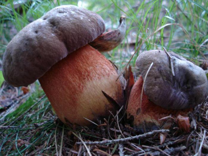 грибы поддубовики съедобные