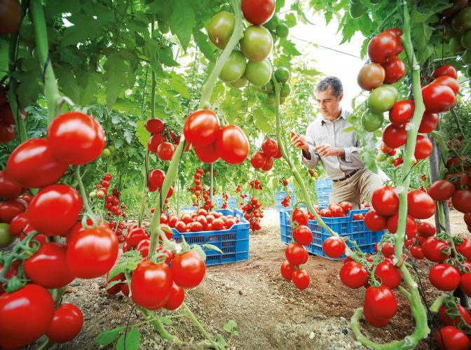 выращивание томатов в теплице без полива