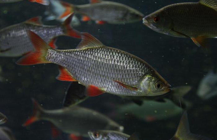 как выглядит рыба красноперка