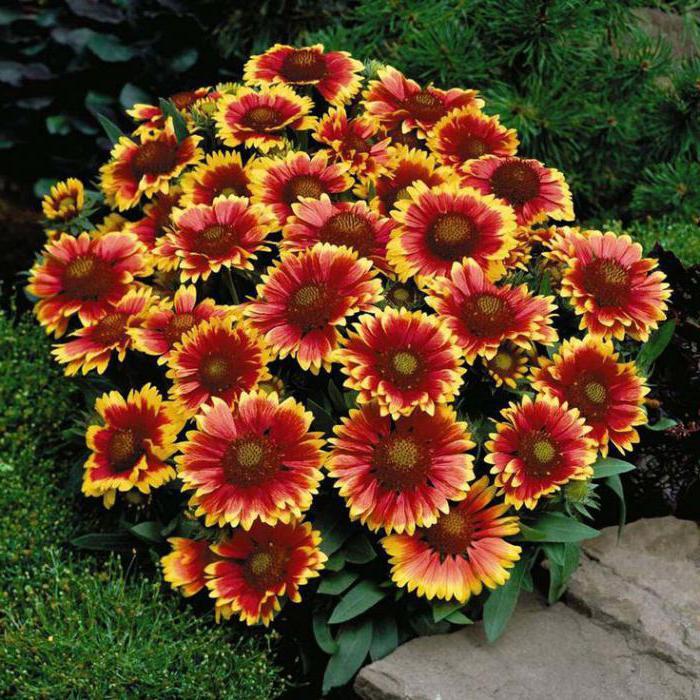 фото цветы название многолетников и