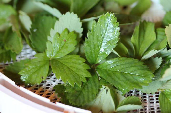листья земляники лечебные свойства