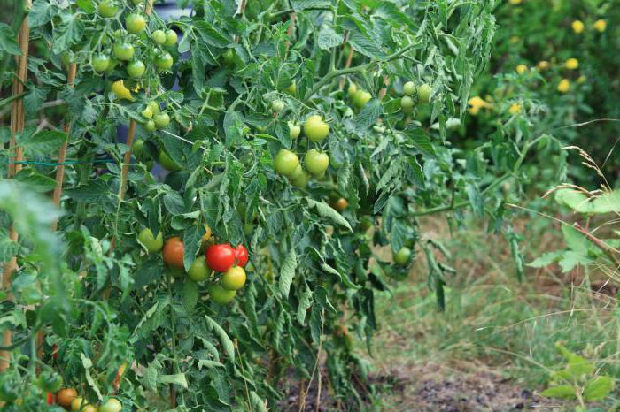 tomatoes without pasynkovka