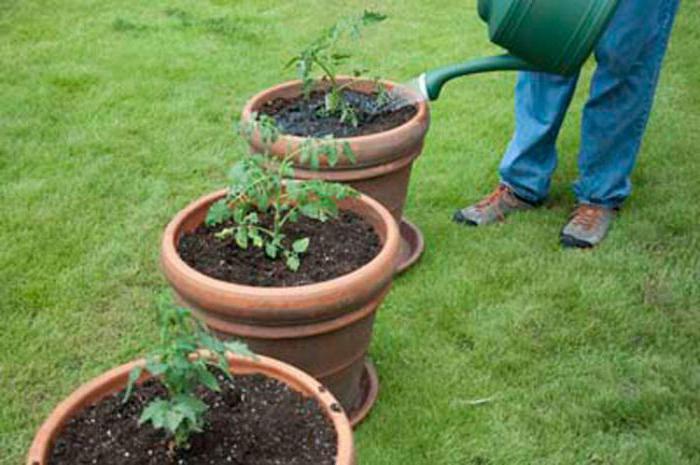 Некорневая подкормка рассады удобрением Агрикола-6 в фазе 1-го настоящего листа, в фазе цветения улучшает азотное питание растений.