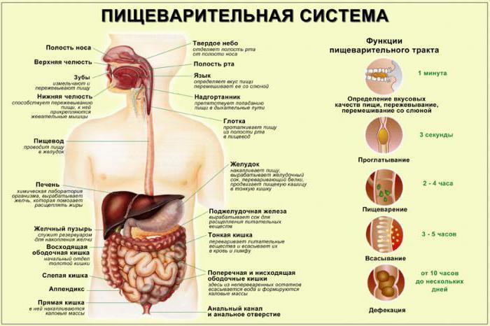 Расположение брюшных органов