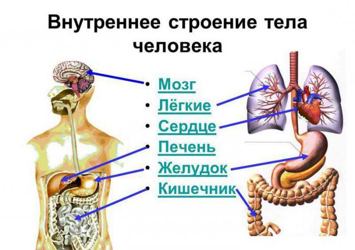 Схема строения внутренних органов человека