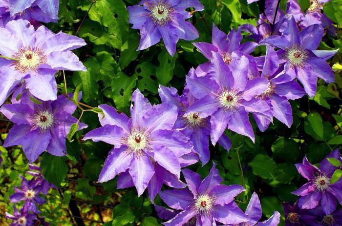 Стелющиеся цветы для сада 74