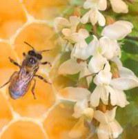 Полезные свойства и противопоказания меда из белой акации