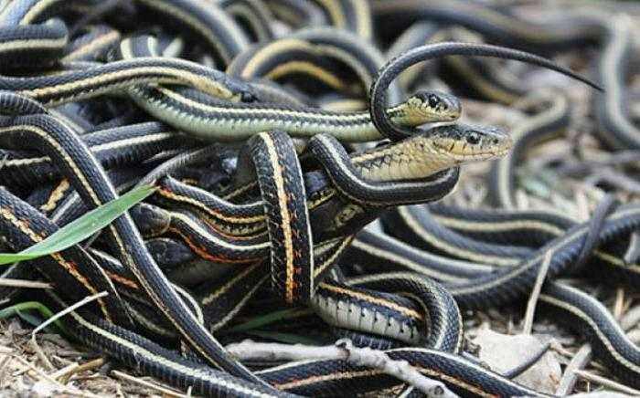 Когда свадьба у змей
