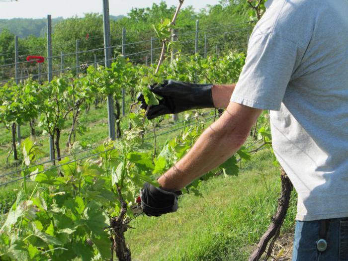 летняя обрезка винограда для