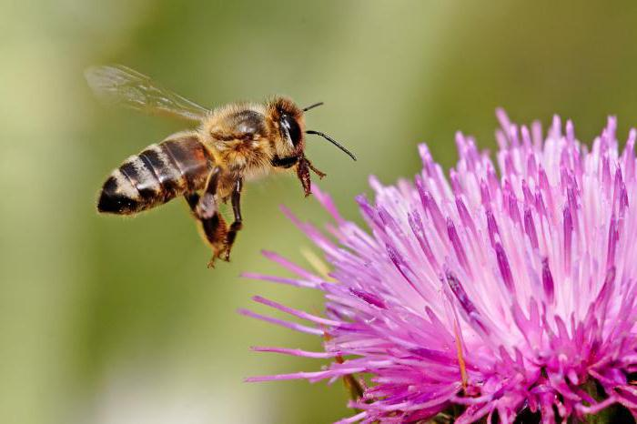 how long does a honeybee live?