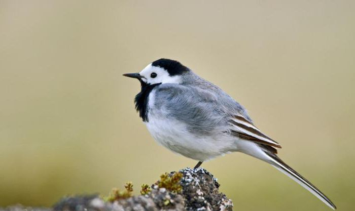 what a wagtail chick looks like
