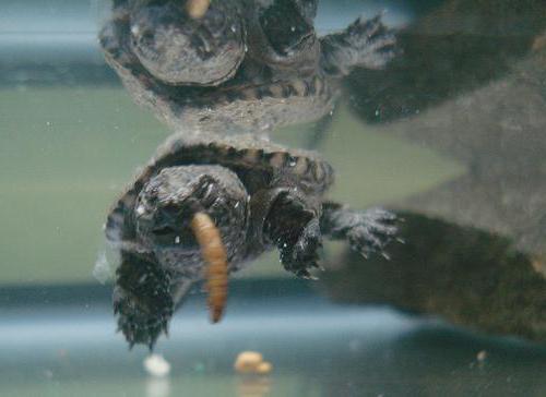 Кормление болотной черепахи в домашних условиях
