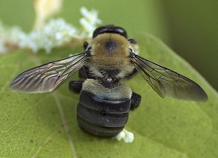 выборе пчела плотник фото роботыпылесосы