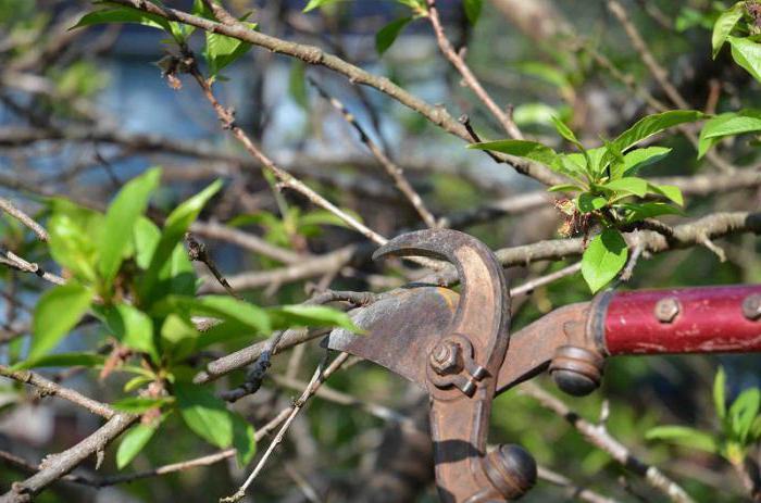 обрезка вишни летом схема