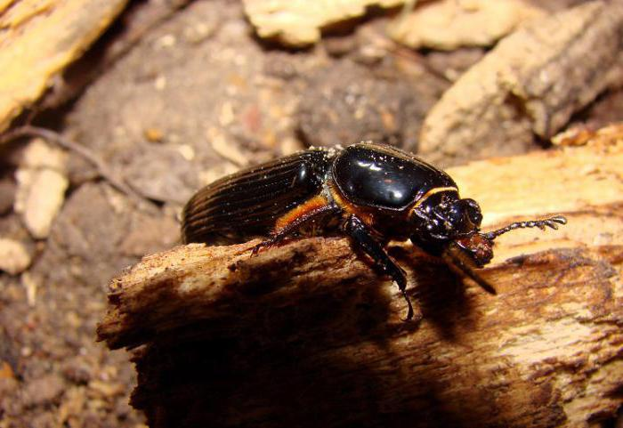 Древесные жуки виды