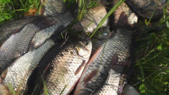 Рыбалка на резинку карася