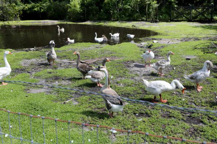 what to feed geese in the summer