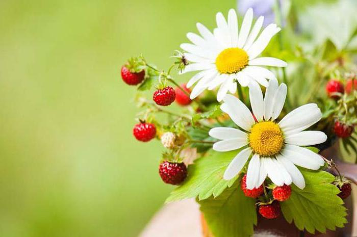 wild strawberry useful properties of berries and leaves