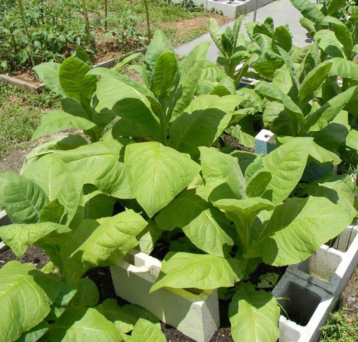 Сушка листьев табака - Домашний Табак
