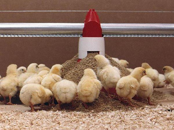 composition of feed for broilers