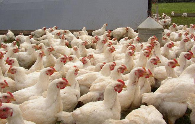 feed for broilers do-it-yourself