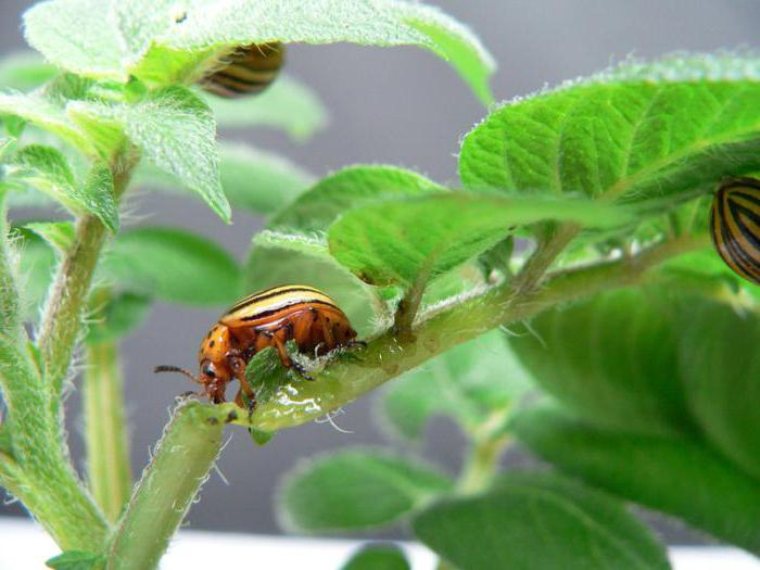What is the most effective remedy for the Colorado potato beetle?