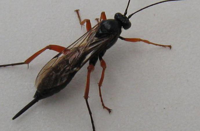 полезные насекомые наездники