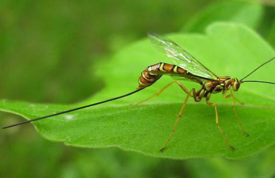 виды наездников насекомых