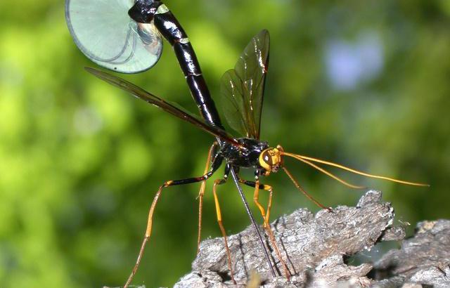 насекомое наездник опасен ли для человека