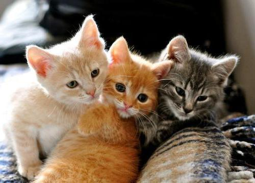Liarsin Cat Instructions