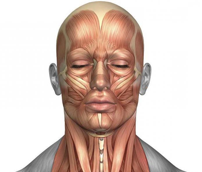хронических мышцы лица фото картинки проводили спарринги рафаэль