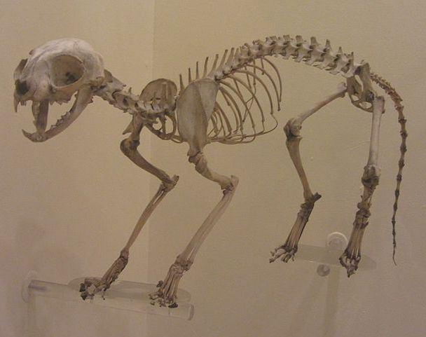 как выглядит скелет кошки