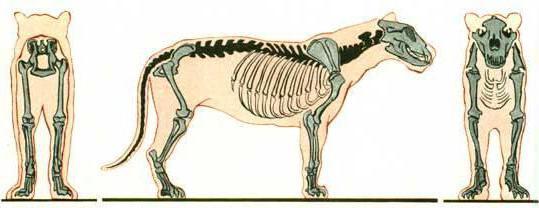 скелет кошки строение
