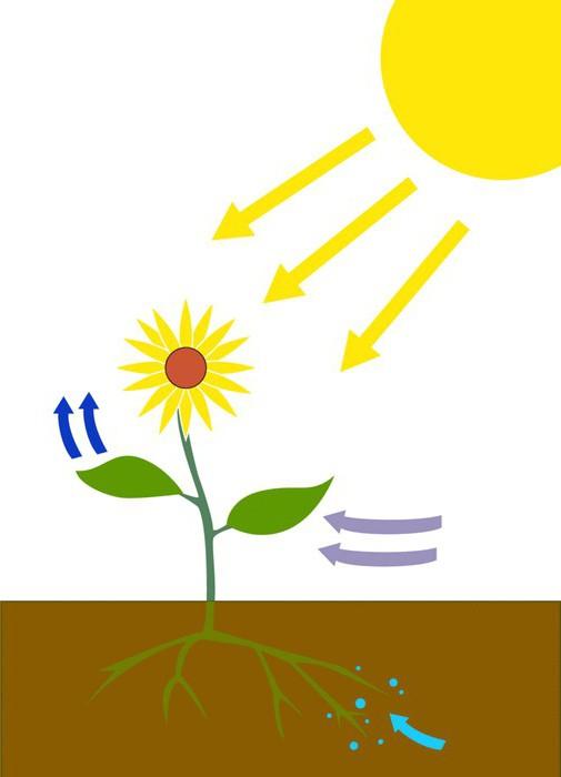 Темновая и световая фаза фотосинтеза. Где протекает ...: https://www.syl.ru/article/222941/new_temnovaya-i-svetovaya-faza-fotosinteza-gde-protekaet-svetovaya-faza-fotosinteza