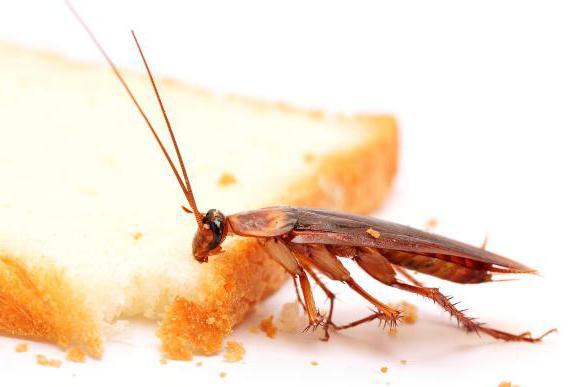 Как избавиться от тараканов народными средствами? Самое эффективное средство от тараканов