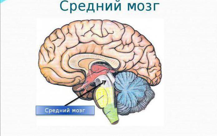 возрастные особенности средний мозг