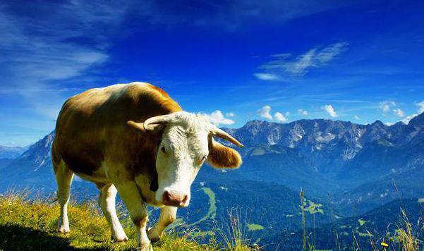 Сколько желудков у коров? Строение пищеварительной системы домашнего скота