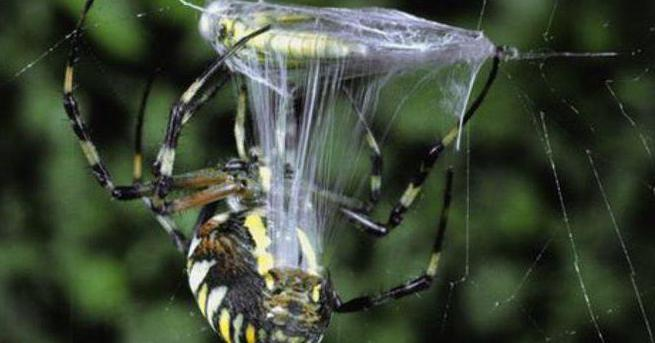 откуда выделяется паутина у пауков