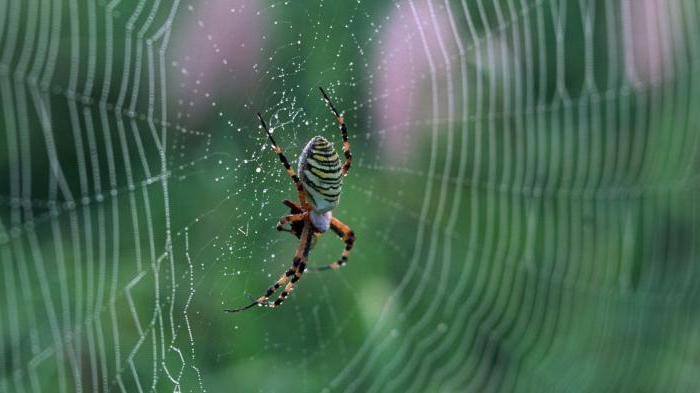 как паук плетет паутину и каковы ее особенности
