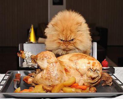 сколько раз в день кормить кота британца