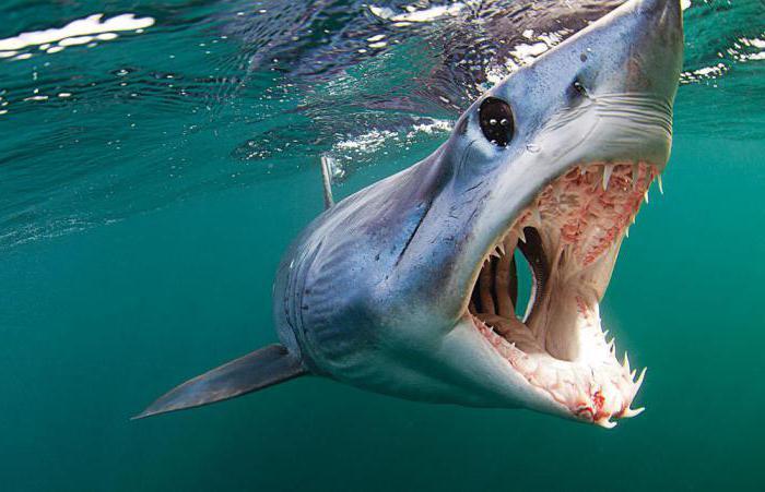 what a mako shark looks like