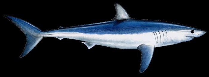 gray-blue mako shark